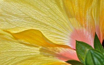 цветок, лепестки, гибискус