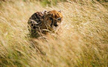 трава, африка, охота, гепард