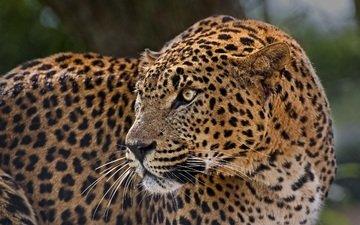 леопард, пятна, хищник, профиль, дикая кошка, настороженность