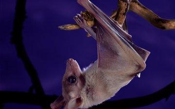 ночь, ветка, фиолетовый, животное, милая, висит, летучая мышь, головой вниз