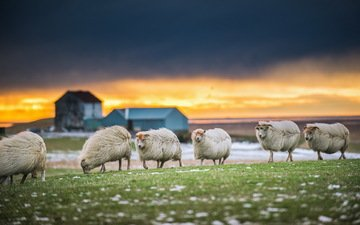 природа, закат, овцы
