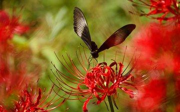 насекомое, цветок, лепестки, бабочка, крылья, растение