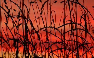 трава, макро, силуэт, растение, зарево