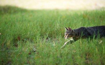 трава, кошка, охота, крадётся