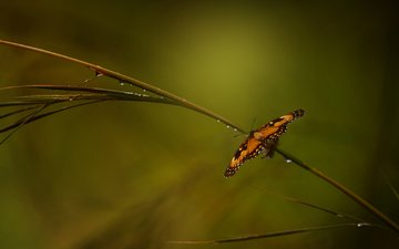 природа, роса, бабочка, сад