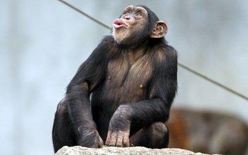 природа, обезьяна, примат, карликовый шимпанзе, шимпанзе