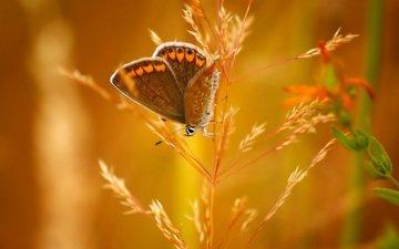 насекомое, бабочка, колосок, боке
