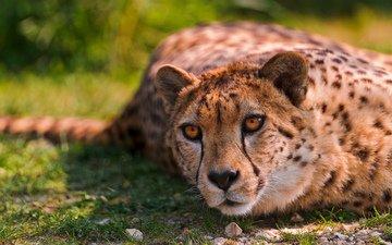 кошки, гепард, дикая кошка, валяются, животно е