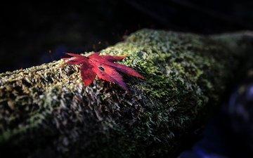 дерево, фокус камеры, осень, красный, лист, мох, ствол, кора, кленовый