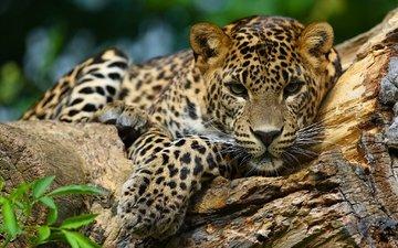 морда, взгляд, ягуар, дикая кошка, ягуа́р