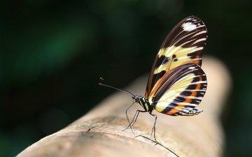 макро, насекомое, бабочка