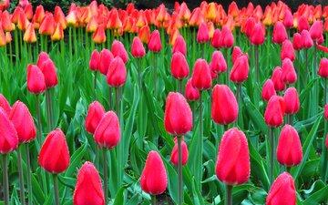 природа, роса, капли, тюльпаны, клумба, плантация