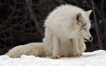 канада, песец, полярная лисица, parc omega, montebello, арктическая лиса