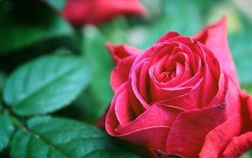 макро, роза, бутон