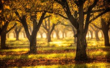 деревья, лес, листья, осень, жёлтая, расцветка, опадают, осен, листья, дерево