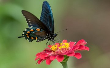 цветок, лепестки, краски, бабочка, крылья, мотылек
