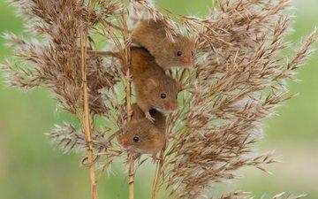 мыши, камыш, трио, harvest mouse, мышь-малютка, троица