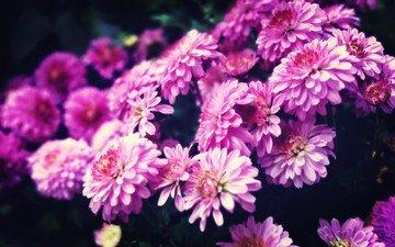 цветы, хризантемы, хризантема, цветком, пинк, лиловая