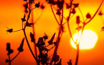 трава, солнце, природа, закат, растение, стебель, сорняк