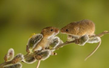 branch, animals, spring, a couple, mouse, verba, rodents, harvest mouse, the mouse is tiny