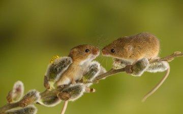 ветка, животные, весна, парочка, мыши, верба, зверьки, грызуны, harvest mouse, мышь-малютка