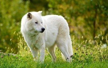 трава, лес, хищник, волк, мелвильский островной волк, арктический волк