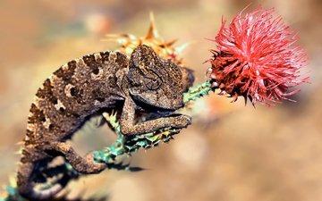 цветок, ящерица, хамелеон