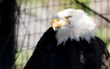 хищник, птица, клюв, контраст, зоопарк, оперение, белоголовый орлан