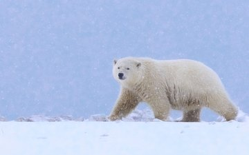 snow, polar bear, bear, alaska
