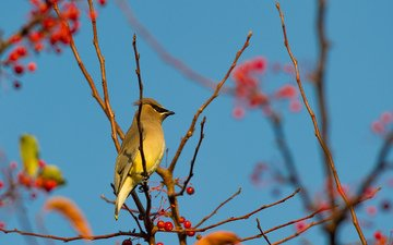 the sky, branch, bird, berries, the waxwing