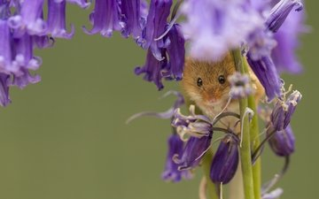 flowers, macro, bells, mouse, harvest mouse, the mouse is tiny