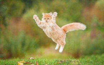 кот, пушистый, прыжок, рыжий, рыжий кот