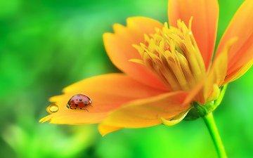макро, насекомое, цветок, капля, лепестки, божья коровка