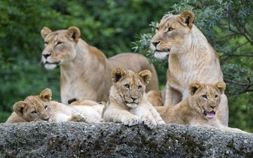 stone, cats, lions, family, the cubs, language, lioness, yawns, ©tambako the jaguar