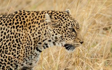 face, grass, leopard, predator, profile, wild cat