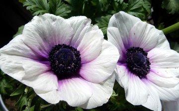 цветы, фото, белый, анемоны