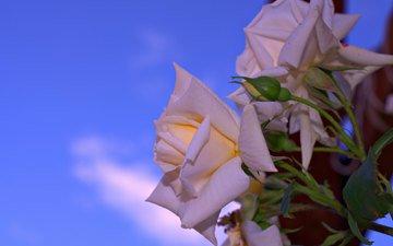 небо, роза, лепестки, куст