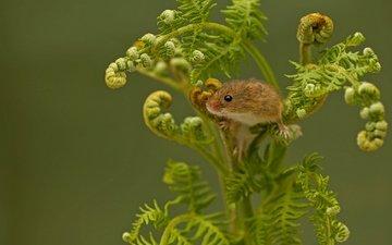 папоротник, мышка, harvest mouse, мышь-малютка