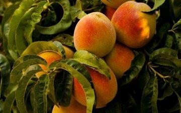 еда, фрукты, персики, заводы, деревь, на природе, fruits, листья, здоровое