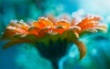 flower, rosa, drops, gerbera