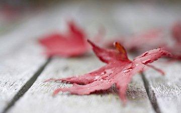 природа, листья, макро, осень, кленовый лист, капли воды, деревянная поверхность