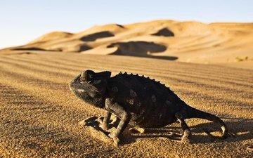пустыня, ящерица, рептилия, игуана, пресмыкающееся, десерд