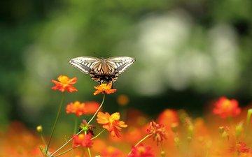 цветы, природа, бабочка