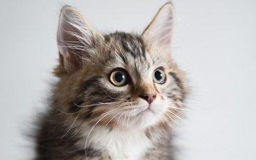 портрет, кошка, киса, коте