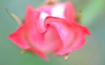 macro, rose, petals, bud