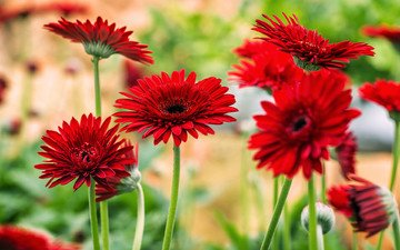 цветы, цветение, красные, яркие, герберы