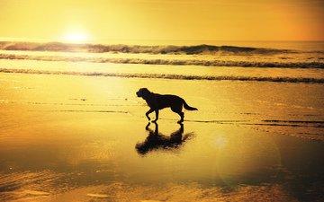 восход, волны, отражение, пляж, собака, зеркало, тень, солнечный