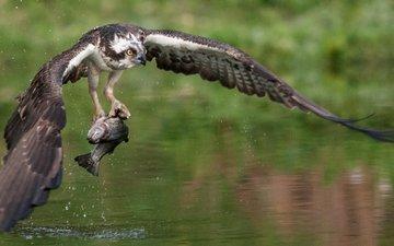 птица, когти, рыба, ястреб, хищная