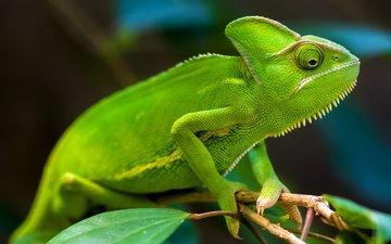 зелёный, ящерица, хамелеон, тропический лес, хамелеоны, грин