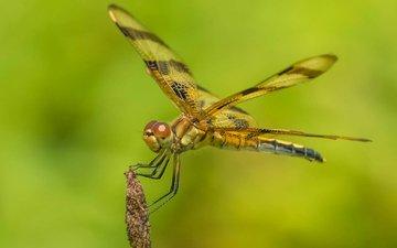 природа, насекомое, крылья, стрекоза
